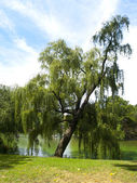 Weeping Willow in Central Park — Stock Photo
