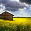 Blooming rapeseed field (lat. Brassica napus) with shed — Stock Photo