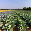Field with Red and White Cabbage (lat. Brassica oleracea) — Stock Photo