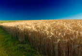 Cornfield (rye) with deep blue sky in Pfalz, Germany — Stock Photo