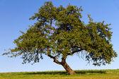 Fruit tree with cloudless sky in Pfalz, Germany — Stock Photo