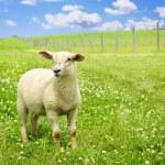 Cute young sheep — Stock Photo #4464943