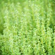 Thyme plants - Stock Photo