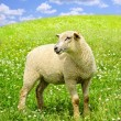 Cute young sheep - Stock Photo