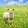 Cute young sheep — Stock Photo #4465338