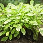 Sage plant — Stock Photo #4465520
