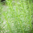 Rosemary herb plants — Stock Photo