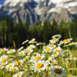 Daisies at Mount Robson provincial park, Canada - Stock Photo