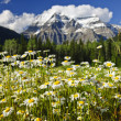 Daisies at Mount Robson provincial park, Canada — Stock Photo #4465550