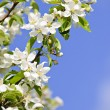 Blooming apple tree branches — Stock Photo #4465724