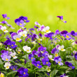 Pansies - Foto Stock