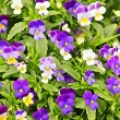 Pansies - Stock Photo