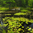 Lily pads on lake — Foto Stock