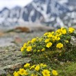 Alpine meadow in Jasper National Park — ストック写真