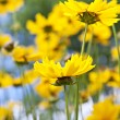 Yellow coreopsis flowers — Stock Photo #4466315