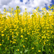 Canola plants in field — Stock Photo