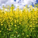 Canola plants in field — Stock Photo