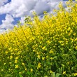 Stock Photo: Canola plants in field