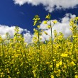 Canola plants in field — Stock Photo #4466544