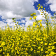 Canola plants in field — Stock Photo #4466545
