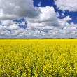 Canola field — Stock Photo #4466554