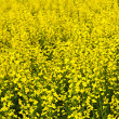 Canola plants - Stock Photo