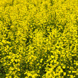 Canola plants — Stock Photo #4466570