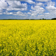 Photo: Canola field