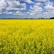 Stockfoto: Canola field