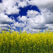 Canola field — Stock Photo #4466600