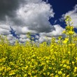 Canola field — Stock Photo #4466613