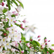 Apple blossoms background — Foto de Stock