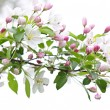 Blooming apple tree branch — Stock Photo #4466711