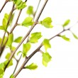 Branches with green spring leaves - 