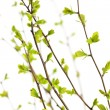 Branches with green spring leaves - Stock Photo