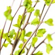 Branches with green spring leaves — Stock Photo