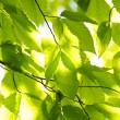 Green spring leaves - Foto Stock