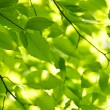 Green spring leaves — Foto de Stock