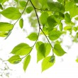 Green spring leaves on white background — Stock Photo #4467552