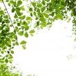 Green spring leaves on white background — Stock Photo