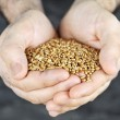 Hands holding grain — Stock Photo #4467661