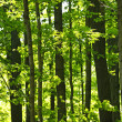 Green spring forest — Stock Photo #4467864