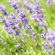 Lavender blooming in a garden — ストック写真
