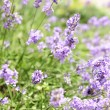 Lavender blooming in a garden — Foto Stock