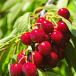 Bunch of cherries on tree — Stock Photo