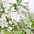 Stock Photo: Blooming apple tree