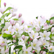 Apple blossoms background — Stock Photo #4468180