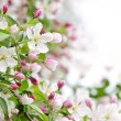 Apple blossoms background — Stock Photo