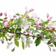 Stock Photo: Blooming apple tree branch