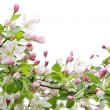Apple blossoms — Foto de Stock